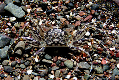 Crab at the Jaco Beach